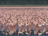 Lesser Flamingos Feast on Blue-Green Algae and Insects at Morning Photographic Print
