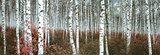 Buy Silver Birch Forest, China at AllPosters.com