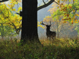 Buy Deer, Favorite Park, Ludwigsburg, Baden-Wurttemberg, Germany, Europe at AllPosters.com