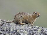 Arctic Ground Squirrel (Parka Squirrel) (Citellus Parryi), Hatcher Pass, Alaska