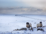 Northumberland Blackface Sheep in Snow, Tarset, Hexham, Northumberland, United Kingdom, Europe