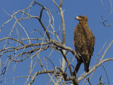 Tawny Eagle (Aquila Rapax), Kgalagadi Transfrontier Park, Northern Cape, South Africa, Africa Photographic Print