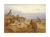 English Partridges