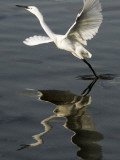 Egret Takes Off from River Ganges in Haridwar, India
