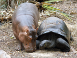Baby Hippo Walks Along with its 'Mother', a Giant Male Aldabran Tortoise, at Mombasa Haller Park