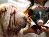 Dog and a Pig are Displayed During a Promotional Event at a Hong Kong Shopping Mall