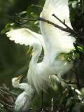 Egret Keeps Her Baby under Her Wing on a Tree, on the Banks of the River Brahmaputra in India