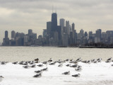 Birds Sit in Deep Snowdrifts at the Lake Shore Drive in Chicago