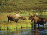Moose Standing by Wonder Lake, Denali National Park, Alaska, USA Photographic Print