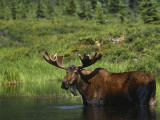 Bull Moose Wading in Tundra Pond, Denali National Park, Alaska, USA