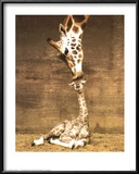 Giraffe, First Kiss