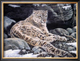 Awake Snow Leopard