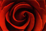 Red Rose