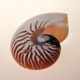 Nautilus,