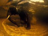 An Underwater View of an African Elelphant in a Watering Hole