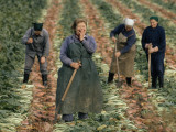 East German Women Harvesting Sugar Beets