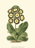 Antique Primula III