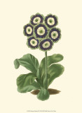 Antique Primula II