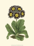 Antique Primula I