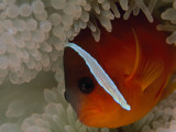 Buy An Anemonefish Nestles Among Sea Anemone Tentacles at AllPosters.com