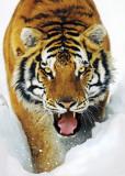 TIGER SNOW, 3-D Poster
