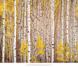 Aspen Grove, Colorado Art Print
