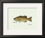 Smallmouth Bass Fish