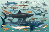 Buy Sharks at AllPosters.com