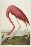 American Flamingo, from 'The Birds of America'