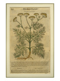 Fennel, a Botanical Plate from the 'Discorsi' by Pietro Andrea Mattioli