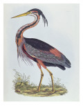 Purple Heron, from 'Illustration of British Ornithology'