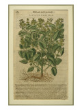 Basil, a Botanical Plate from the 'Discorsi' by Pietro Andrea Mattioli