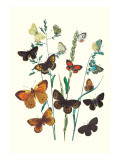 Butterflies: L. Roboris, P. Orion