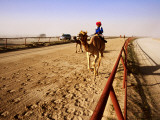 Race Camels in Home Straight of Kuwait Camel Racing Club During Training Session