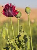 Poppy Field Between Daulitiar and Chakhcharan