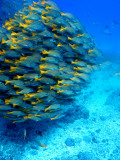 Buy School of Colourful Fish in Blue Waters Off Isla De Cano at AllPosters.com