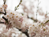 Cherry Blossums (Sakura) on Mount Hakodate