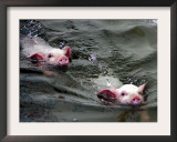 Pigs Compete Swimming Race at Pig Olympics Thursday April 14, 2005 in Shanghai, China Framed Photographic Print