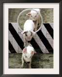 Pigs Compete the Obstacle Race at Pig Olympics Thursday April 14, 2005 in Shanghai, China Framed Photographic Print