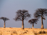 Baobab Trees on Horizon, Singida