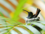 Rufous-Tailed Hummingbird (Amazilia Tzacatl) Sitting in Nest