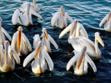 Pelicans on Lake Tana at Mango/Pelican Lake