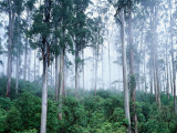 Buy Wielangta Forest in Mist at AllPosters.com