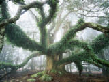Buy Largest known Myrtle Tree in the World at AllPosters.com