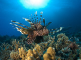 Lion Fish over Reef, Abu Galowa Reef, Fury Shoal, Red Sea