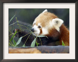 Red Panda Xia-Tschung-Mao Feeds on Bamboo
