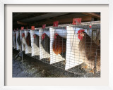 Chickens are Shown in Cages at Whiting Farms in Delta, Colorado, on Thursday, June 8, 2006