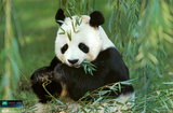 Planet Earth - Panda