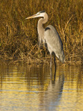 Great Blue Heron Standing in Salt Marsh on the Laguna Madre at South Padre Island, Texas, USA