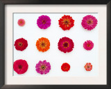 Pinks and Reds on White, Zinnia Family
